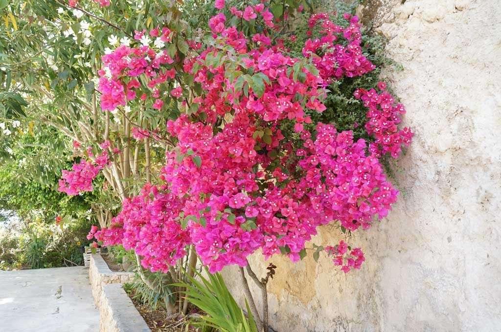lampedusa, fiori